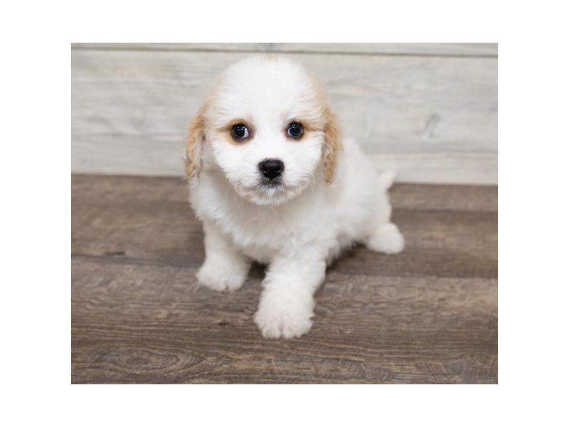 Cavachon-Female-bheim-2584320-Petland Mall of Georgia