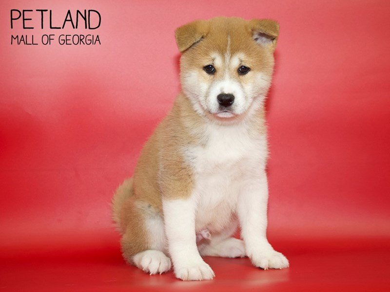Shiba Inu-Male-Red / White-2599797-Petland Mall of Georgia
