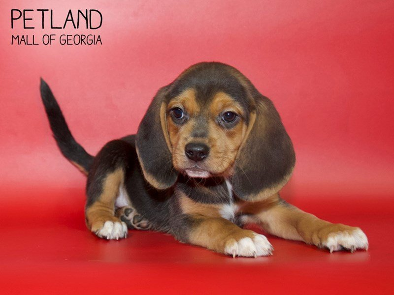 Beagle-DOG-Male-Black / Tan-2599795-Petland Mall of Georgia