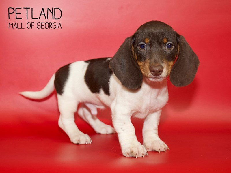 Dachshund-Male-Chocolate / Tan-2599708-Petland Mall of Georgia