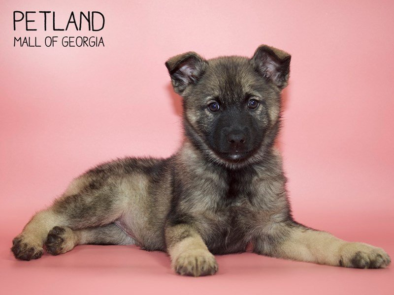 Norwegian Elkhound-Female-Sable-2599685-Petland Mall of Georgia