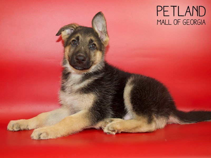 German Shepherd Dog-Male-Black / Tan-2607711-Petland Mall of Georgia