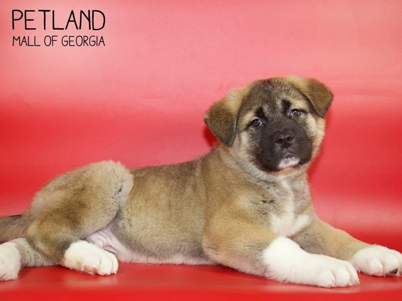 Akita-Male-Fawn-2614808-Petland Mall of Georgia