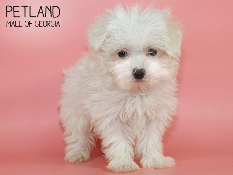 Maltese-Female-WHITE-2611068-Petland Mall of Georgia