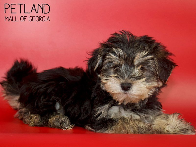 Morkie-DOG-Male-BLK TAN-2610641-Petland Mall of Georgia