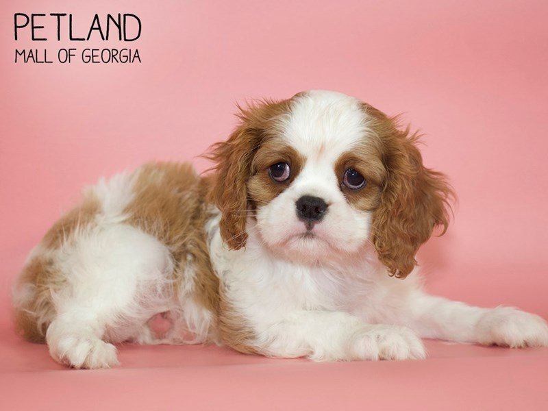 Cavalier King Charles Spaniel-Female-BLENHEIM-2617882-Petland Mall of Georgia