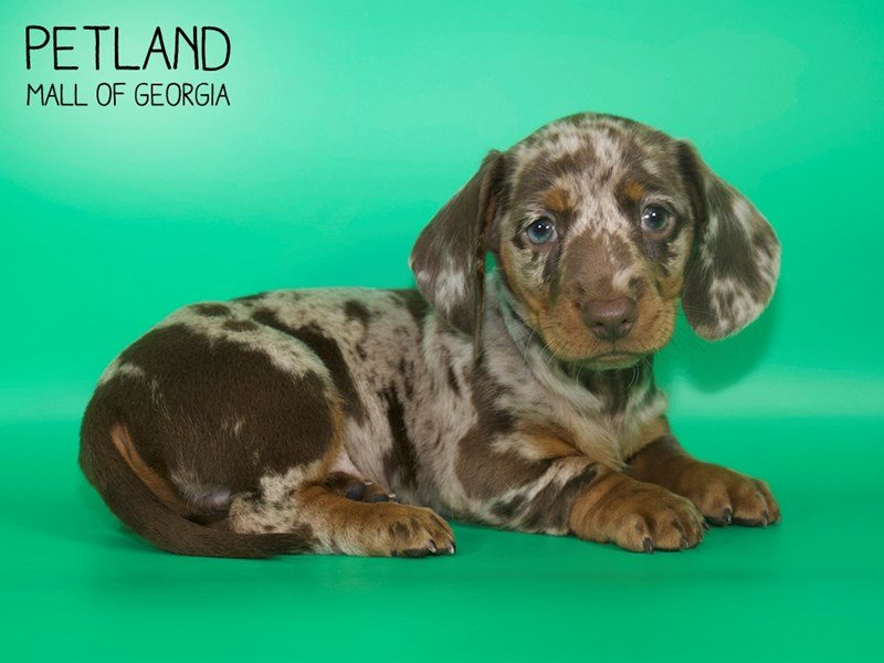 Dachshund-Male-CHOC DAPPLE-2624790-Petland Mall of Georgia