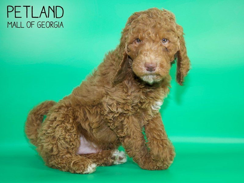 Goldendoodle-Male-Red-2624953-Petland Mall of Georgia