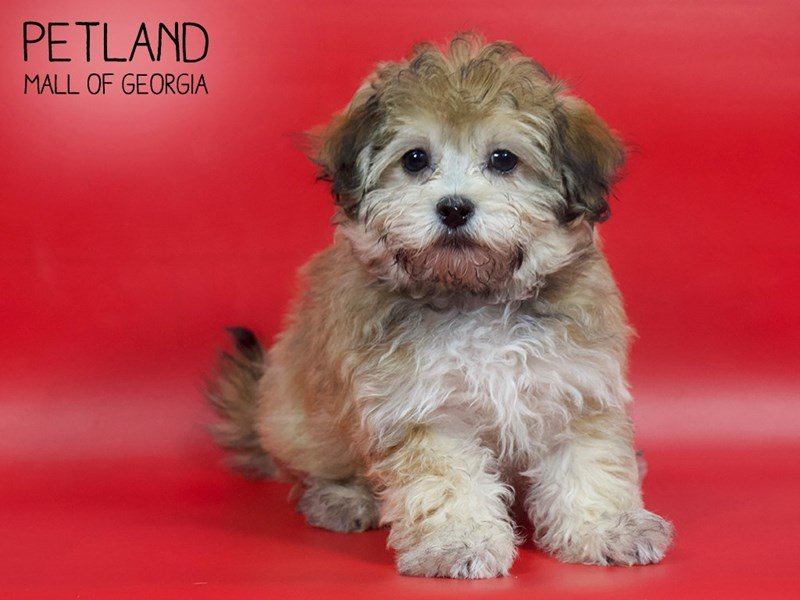 Havanese-Male-Fawn Parti-2593148-Petland Mall of Georgia