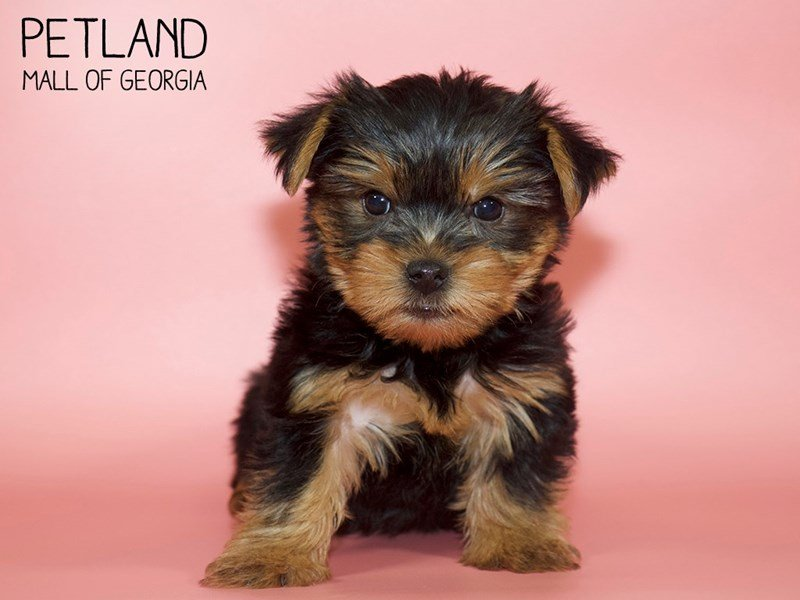 Yorkshire Terrier-Female-Black / Tan-2607740-Petland Mall of Georgia