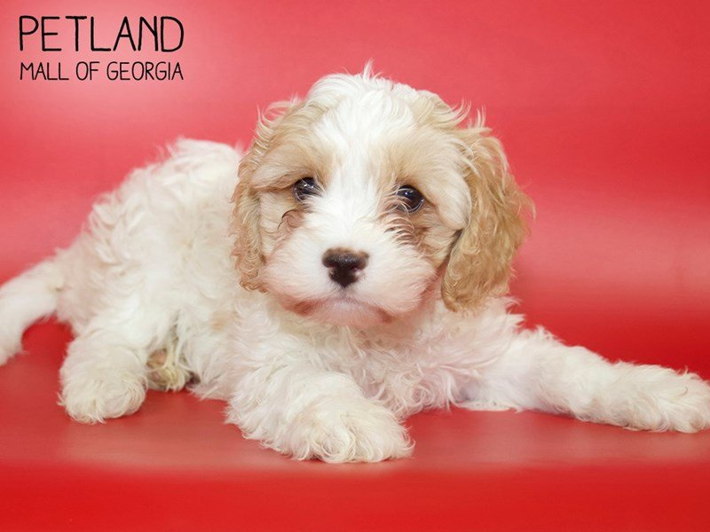 Cavachon-Male-BLENHIEM-2611051-Petland Mall of Georgia