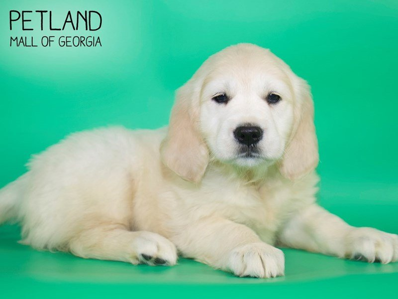 Golden Retriever-DOG-Female-LIGHT GOLDEN-2632167-Petland Mall of Georgia