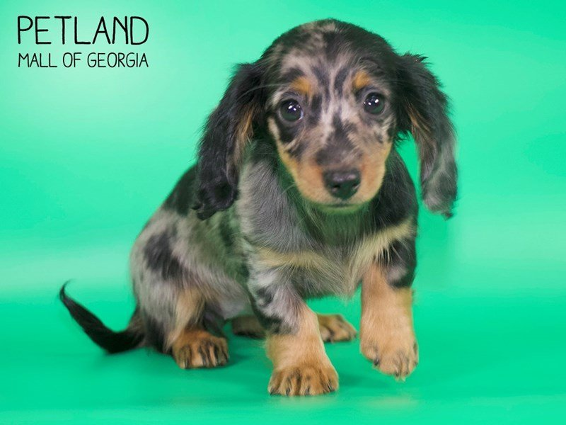 Dachshund-Female-SILVER DAPPLE-2632001-Petland Mall of Georgia