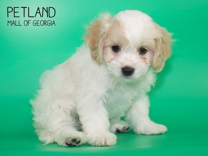 Cavachon-Female-Blenheim-2644389-Petland Mall of Georgia