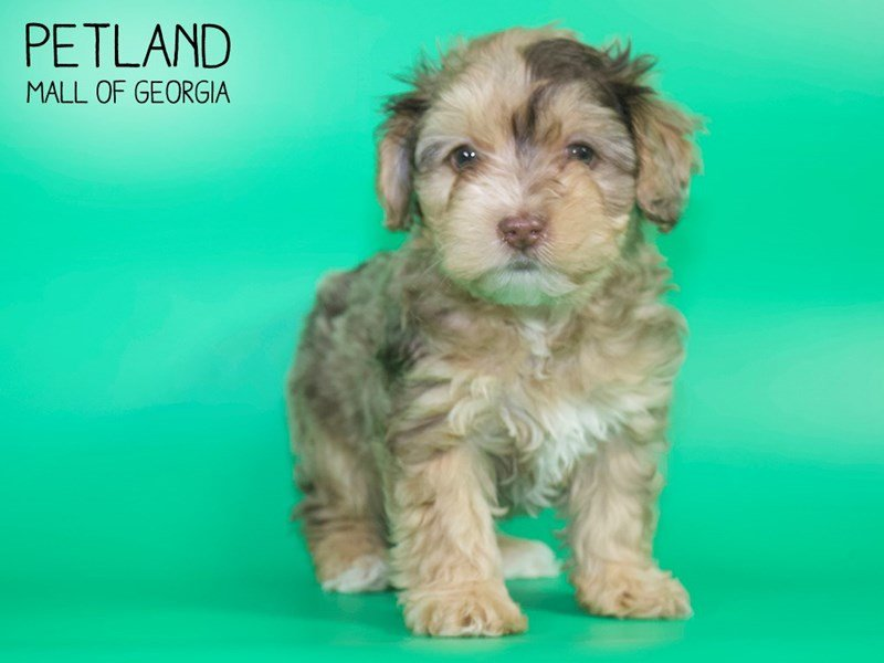 Yorkiepoo-DOG-Female-CHOC MERLE-2639468-Petland Mall of Georgia