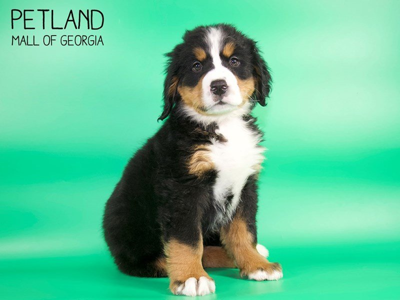 Bernese Mountain Dog-Male-Tri-2639450-Petland Mall of Georgia