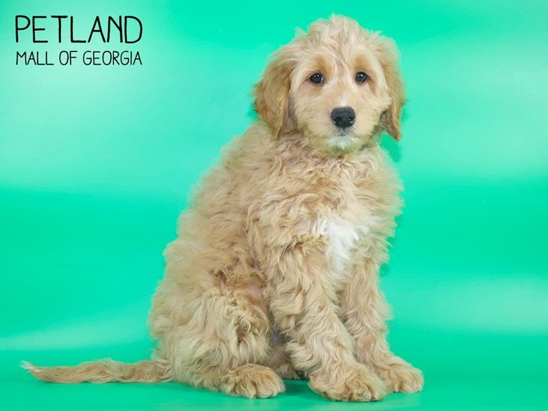 Miniature Goldendoodle 2nd Gen-DOG-Male-Red-2636679-Petland Mall of Georgia