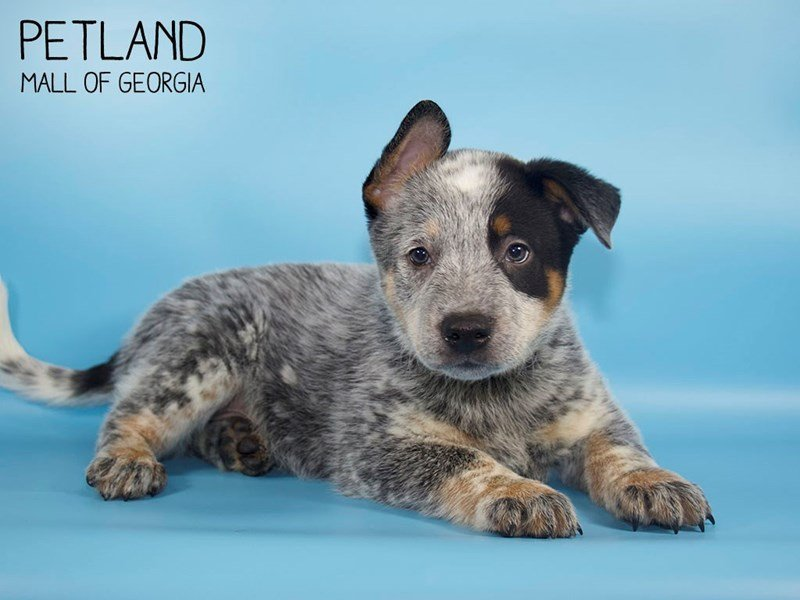 Australian Cattle Dog-Male-Blue Mottled-2644399-Petland Mall of Georgia