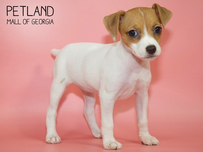 Jack Russell Terrier-Female-White-2599699-Petland Mall of Georgia