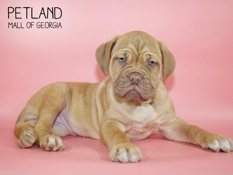 Dogue De Bordeaux-Female-Fawn-2607701-Petland Mall of Georgia