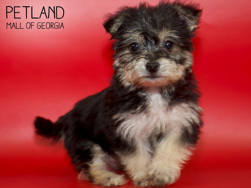 Morkie-Male-BLK TAN-2618156-Petland Mall of Georgia