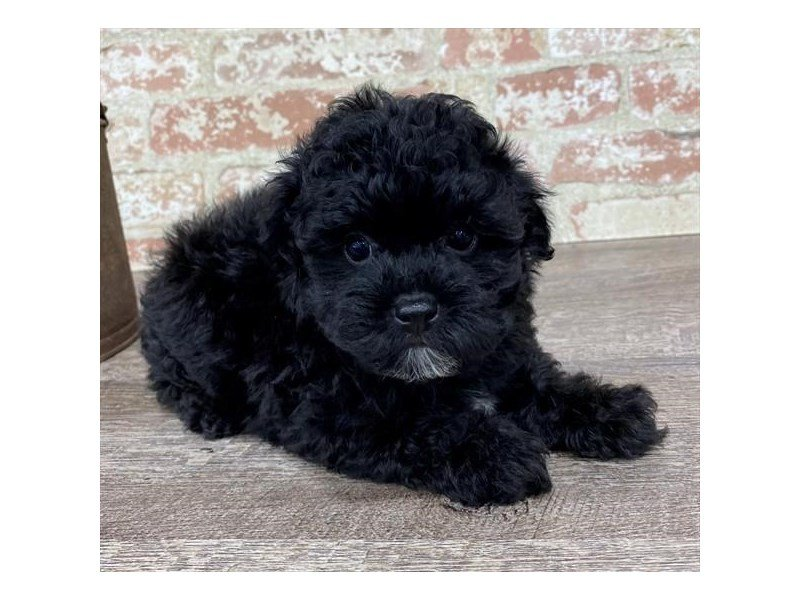 Poodle-Male-Black-2697341-Petland Mall of Georgia