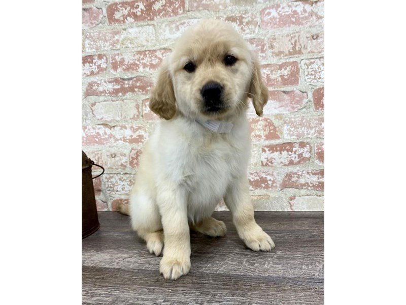 Golden Retriever-Female-Golden-2697346-Petland Mall of Georgia