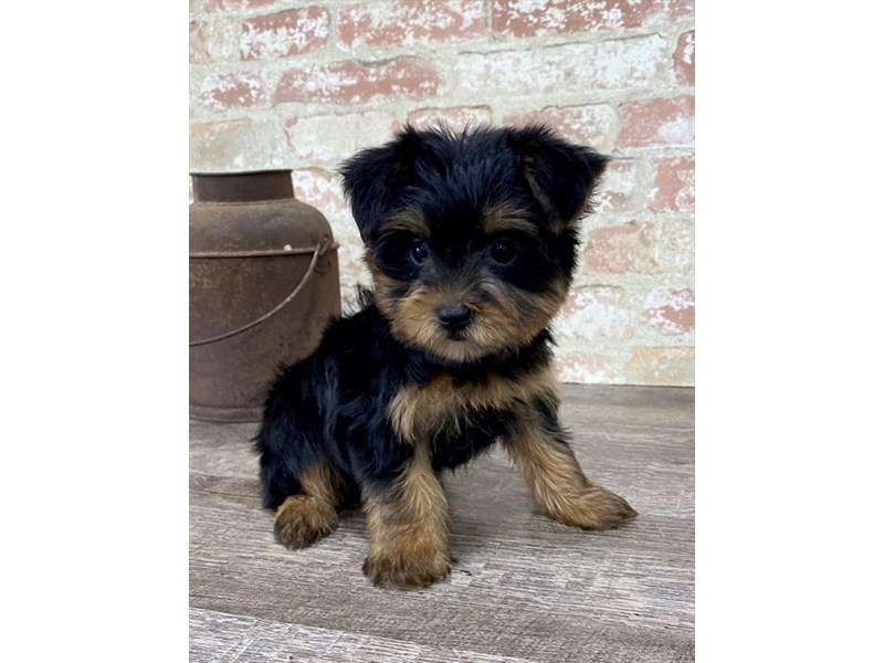 Yorkshire Terrier-Male-Black / Gold-2697409-Petland Mall of Georgia
