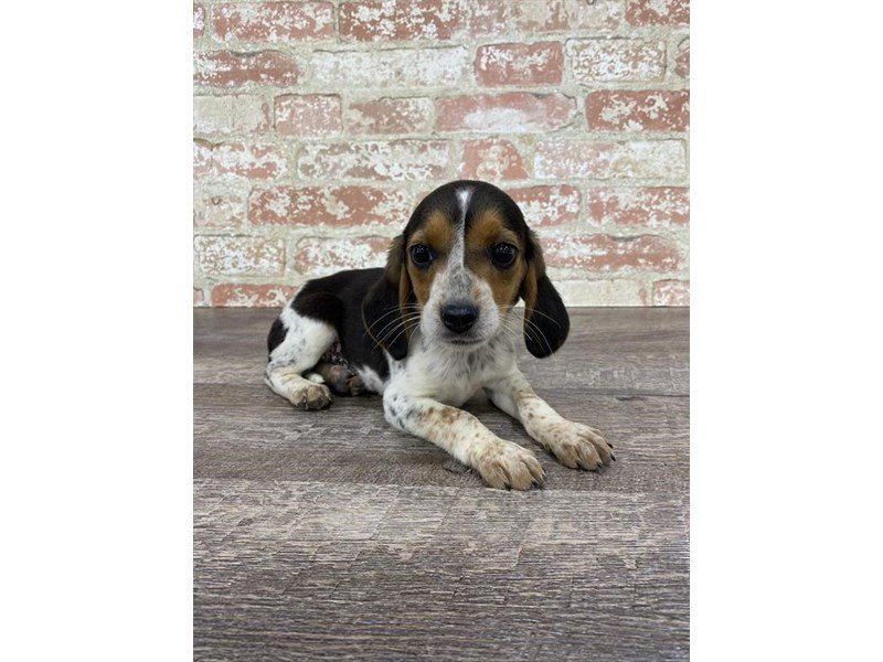 Beagle-Male-Black / Tan-2697413-Petland Mall of Georgia