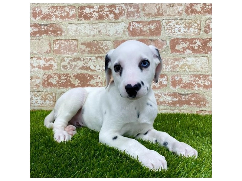 Dalmatian-Male-White-2704168-Petland Mall of Georgia