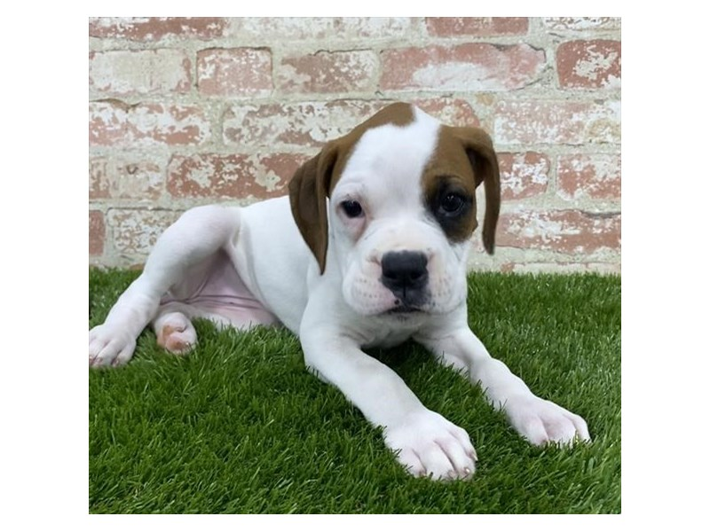Boxer-Female-White-2704173-Petland Mall of Georgia