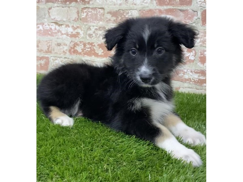 Australian Shepherd-Female-Black-2704174-Petland Mall of Georgia