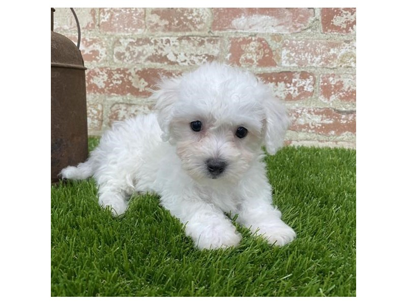 Bichon Frise-Male-White-2704176-Petland Mall of Georgia