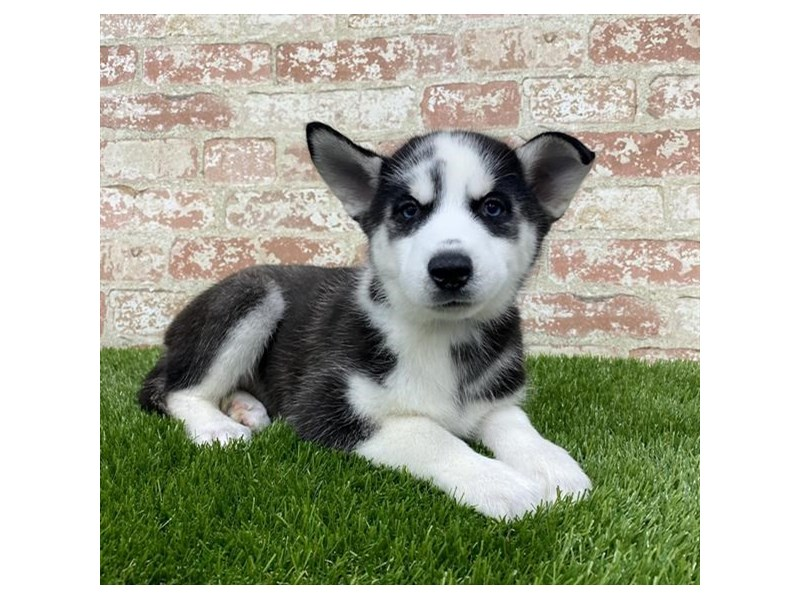 Siberian Husky-Female-Black / White-2704245-Petland Mall of Georgia
