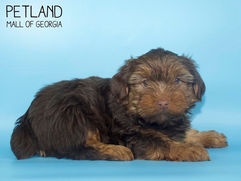 Yorkshire Terrier-Male-CHOC TAN-2699932-Petland Mall of Georgia