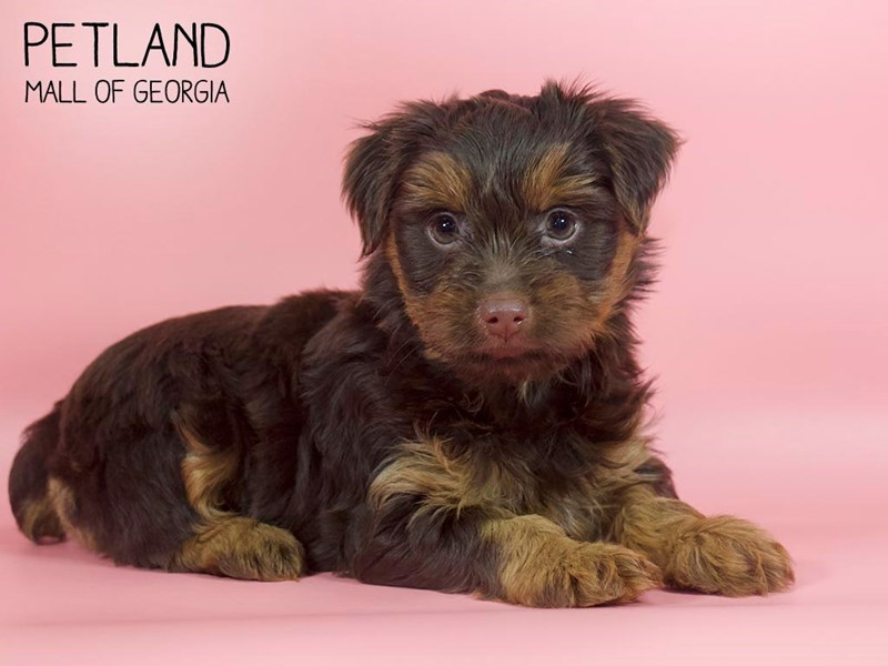 Yorkshire Terrier-Female-CHOC TAN-2699936-Petland Mall of Georgia