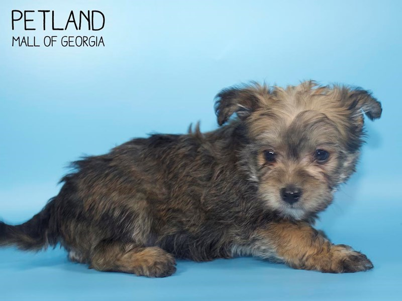 Morkie-Male-beige-2700075-Petland Mall of Georgia