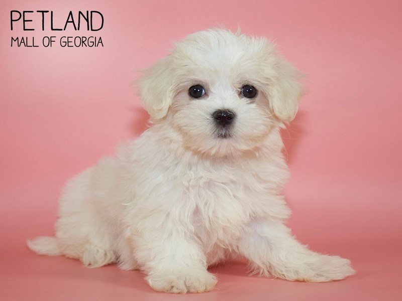 Maltese-Female-White-2710701-Petland Mall of Georgia