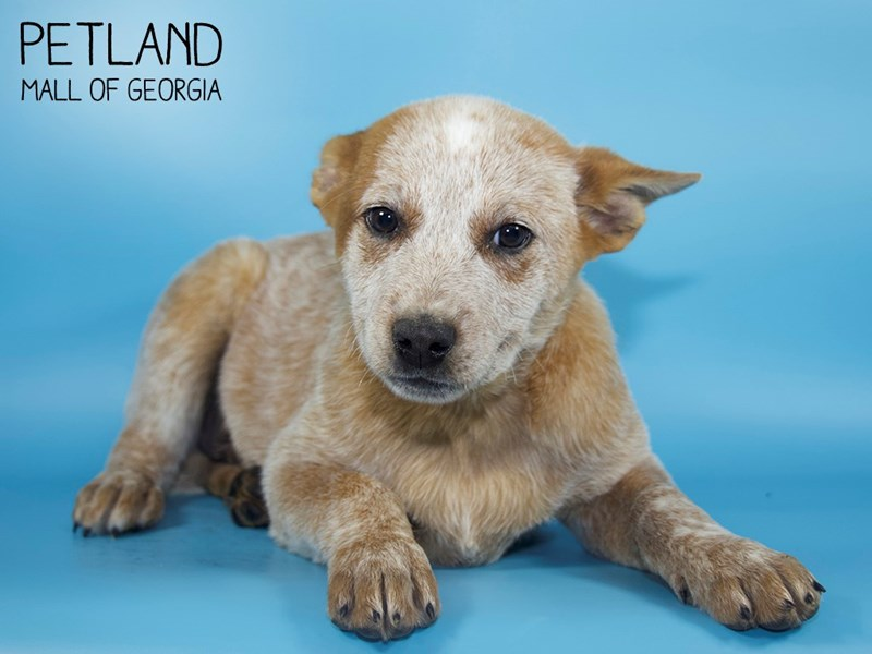 Australian Cattle Dog-Male-Red Mottled-2710699-Petland Mall of Georgia