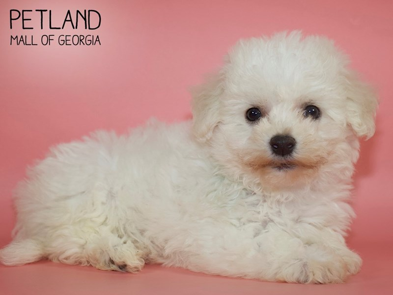 Bichon Frise-Female-White-2710532-Petland Mall of Georgia