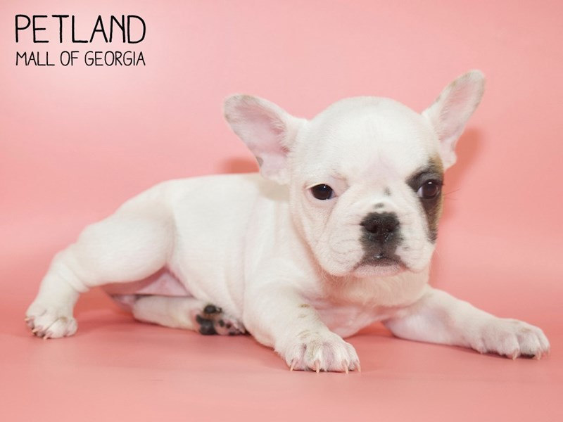 French Bulldog-DOG-Female-Fawn-2710531-Petland Mall of Georgia