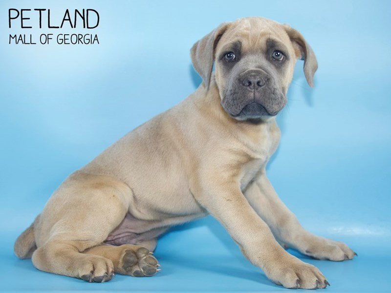 Cane Corso-Male-Blue Fawn-2710530-Petland Mall of Georgia