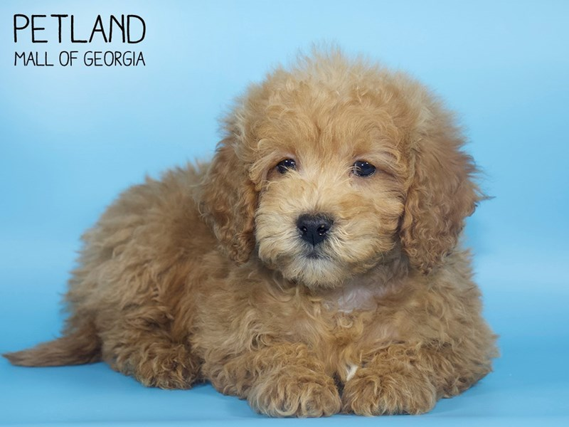Miniature Goldendoodle 2nd Gen-DOG-Male-Red-2710529-Petland Mall of Georgia