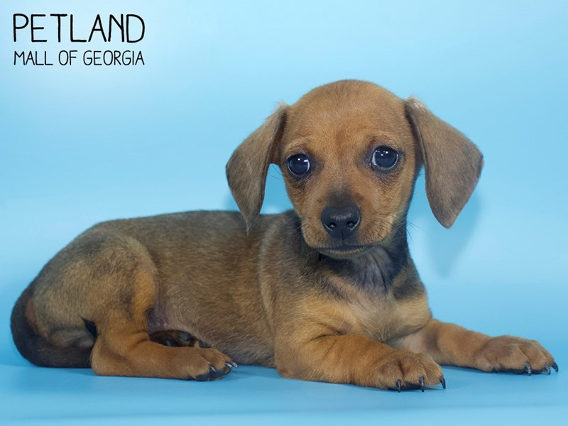 Dachshund-Male-Wild Boar-2710527-Petland Mall of Georgia