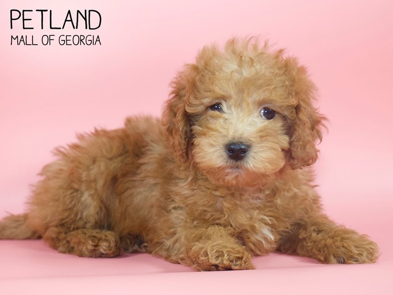 Miniature Goldendoodle 2nd Gen-Female-Red-2717380-Petland Mall of Georgia