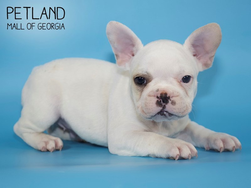 French Bulldog-DOG-Male-White-2717377-Petland Mall of Georgia