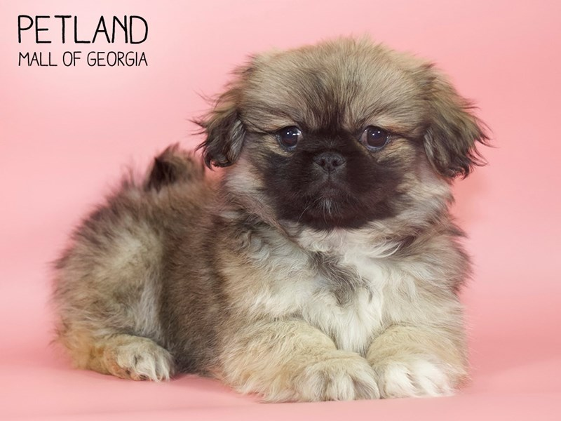 Pekingese-DOG-Female-Sable-2717372-Petland Mall of Georgia