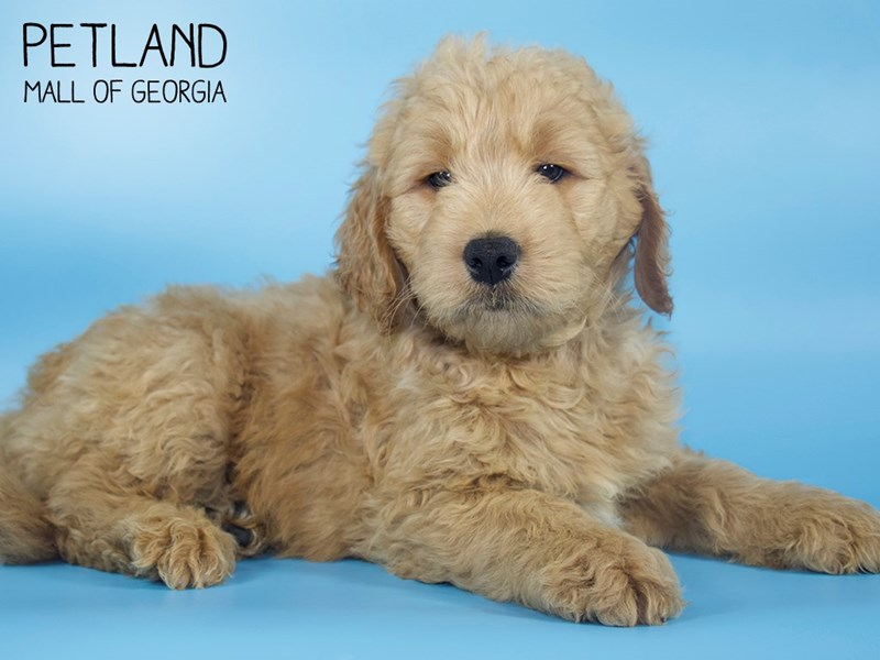 Goldendoodle-DOG-Male-Red-2713507-Petland Mall of Georgia
