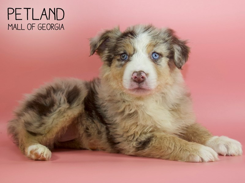 Australian Shepherd-Female-Red Merle-2713525-Petland Mall of Georgia