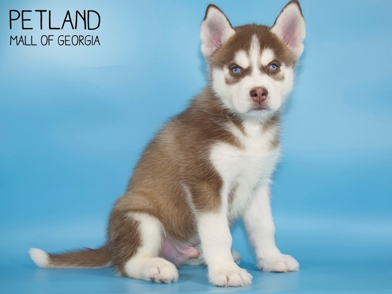 Siberian Husky-Male-Red / White-2723849-Petland Mall of Georgia